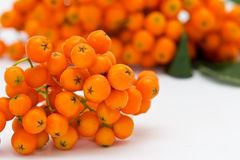 Ashberry cluster with  bright orange berry Stock Photos