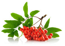 Ashberry cluster with red berry and green leaf Stock Photos