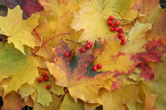 Ashberry cluster on yellow maple leaves Stock Images
