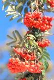 Ashberry con las hojas Fotografía de archivo libre de regalías
