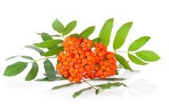 Ashberry die op wit wordt geïsoleerdu Royalty-vrije Stock Fotografie