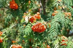 Ashberry at dry sunny day Royalty Free Stock Photo