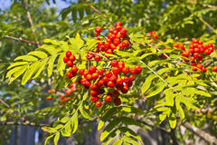 Ashberry Stock Photography