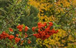 Ashberry i höstfärger av hösten Arkivbilder