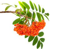Ashberry isolated. On white background Royalty Free Stock Photo