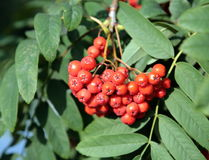 Ashberry with leafs Stock Photography