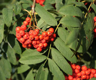 Ashberry with leafs Stock Photo