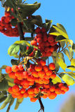 Ashberry with leafs Royalty Free Stock Image