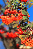 Ashberry with leafs Royalty Free Stock Photos