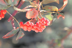 Ashberry with leafs Stock Photos