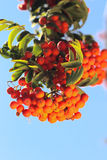 Ashberry with leafs Royalty Free Stock Photo