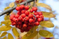 Ashberry makrosikt Arkivfoto