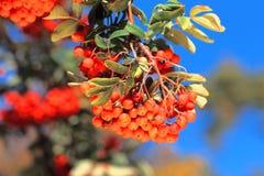 Ashberry met doorbladert Stock Afbeeldingen