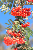 Ashberry met doorbladert Royalty-vrije Stock Afbeelding