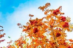 Ashberry met doorbladert op hemelachtergrond royalty-vrije stock afbeelding
