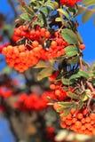 Ashberry mit Blättern Lizenzfreie Stockfotos