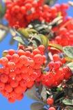 Ashberry mit Blättern Stockfoto