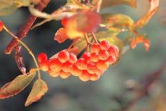 Ashberry mit Blättern Stockfotos