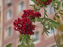 Ashberry-Nahaufnahme Stockfotografie