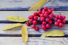 Ashberry no banco do vintage Ainda vida outonal Imagens de Stock