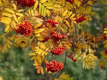 Ashberry no dia do outono Fotos de Stock