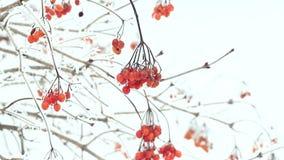 Ashberry och insnöat vintern arkivfilmer