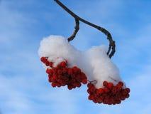 Ashberry onder de Sneeuw Royalty-vrije Stock Afbeeldingen