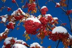 Ashberry onder sneeuw Stock Afbeeldingen