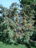Ashberry på den torra dagen Royaltyfri Fotografi
