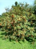 Ashberry på den torra dagen Arkivbilder