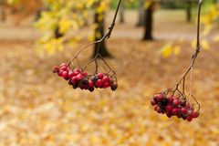 Ashberry in the park close-up in autumn. Ashberry in the park close-up in autumn Royalty Free Stock Image