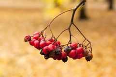 Ashberry in the park close-up in autumn. Ashberry in the park close-up in autumn Royalty Free Stock Images