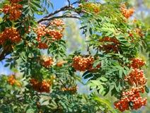 Ashberry przy suchym dniem Fotografia Stock