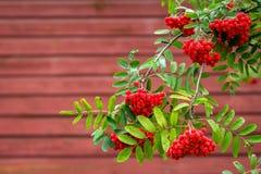 Ashberry ramifica con las bayas aisladas en fondo rojo imagen de archivo