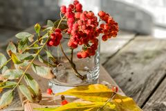 Ashberry is red-bark. Autumn still life, rustic background royalty free stock photography