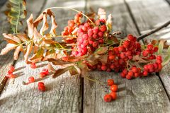 Ashberry is red-bark. Autumn still life, rustic background stock photo