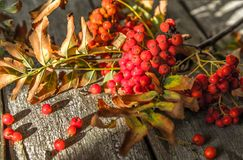 Ashberry is red-bark. Autumn still life, rustic background royalty free stock images