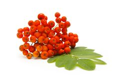 Ashberry Royalty Free Stock Image