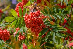 Ashberry rouge en automne par grand groupe Photos stock