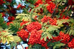 Ashberry, rowa-tree. Nature at autumn. Mountain ash tree, ashberry, rowan-tree Royalty Free Stock Photos