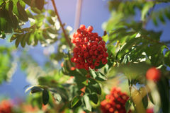 Ashberry on rowan tree in a sunny autumn day Royalty Free Stock Images