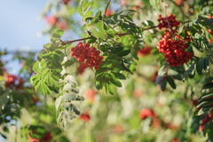 Ashberry on rowan tree in a sunny autumn day Stock Photography