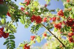 Ashberry on rowan tree in a sunny autumn day Stock Photos