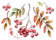 Ashberry set. Watercolor illustration Stock Photos