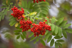 Ashberry - Sorbus aucuparia. Fruits and leaves Royalty Free Stock Photo