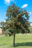 Ashberry träd med röda bär royaltyfri foto