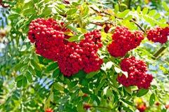 Ashberry tree Stock Photo