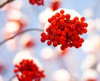 Ashberry under snow Royalty Free Stock Photo