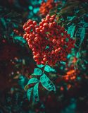 Ashberry vermelho em um parque da noite Fotos de Stock Royalty Free