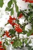 ashberry vinter Arkivfoto
